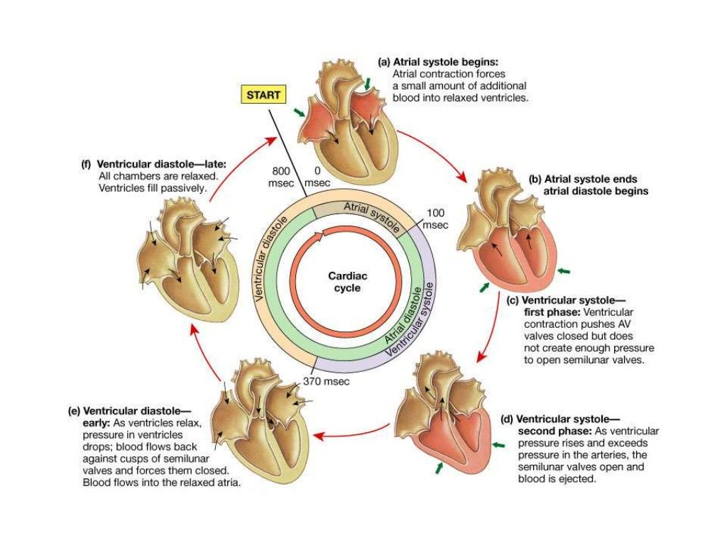 Cardiac Output is the product of Stroke Volume (SV) and Heart Rate ...