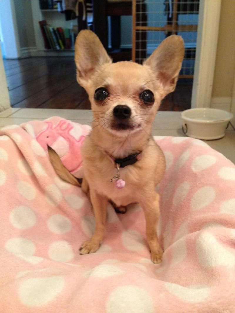 Adopt Mouse 3lbs On Baby Chihuahua Chihuahua Love Cute