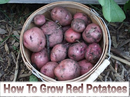 how to grow red potatoes indoors