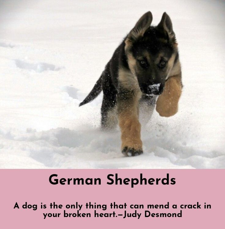 Learn About German Shepherds Follow The Link To Learn More