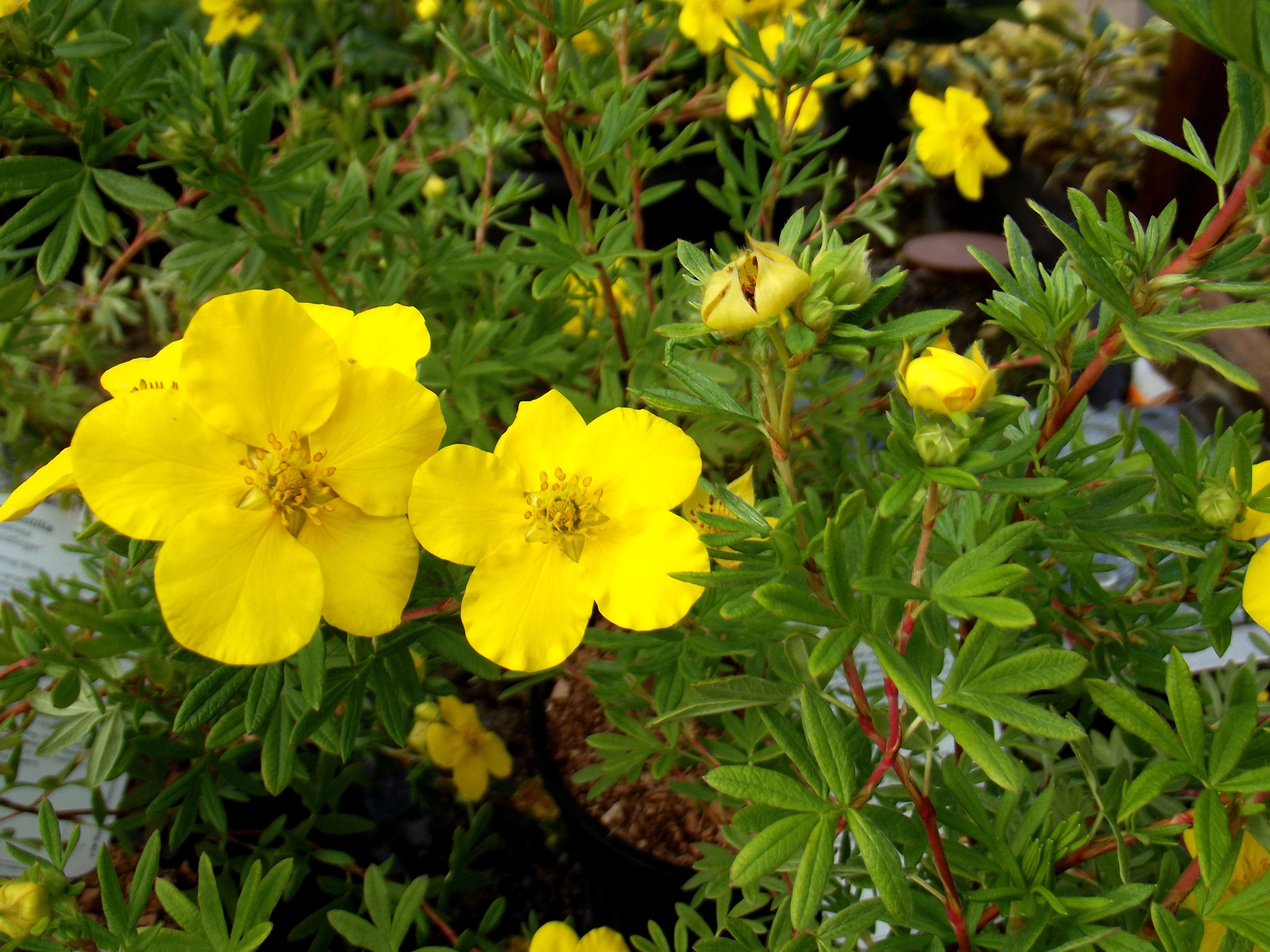 Potentilla Fructicos Gold Finger Buttercup shrub With an