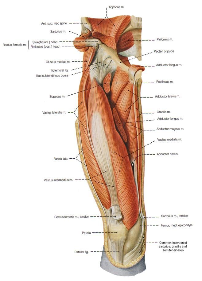Adductor muscles anatomy