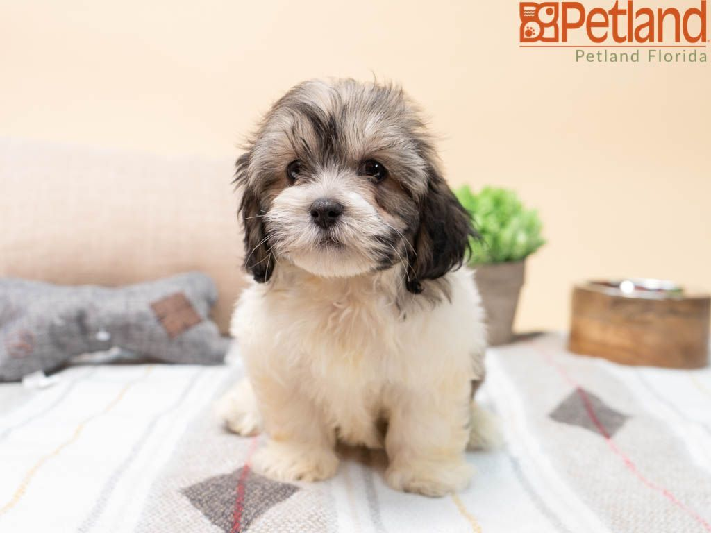 Puppies For Sale Puppies Bear Puppy Puppy Friends