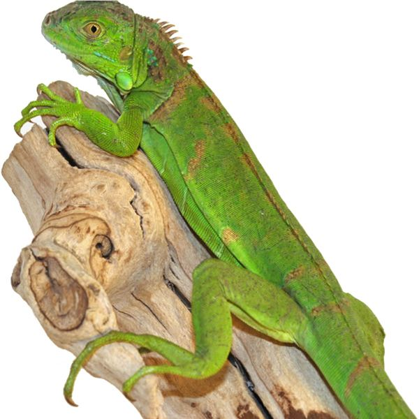 Green Iguana (Groene leguaan)  sc 1 st  Pinterest & Green Iguana (Groene leguaan) | AMPHIBIANS u0026 REPTILES | Pinterest ... azcodes.com