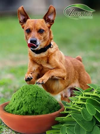 5 Reasons To Give Your Pets Moringa Oleifera 1 Moringa Is A Fantastic Multi Nutrient Supplement That Can Simply Be Ad Boost Energy Naturally Moringa Pet Diet