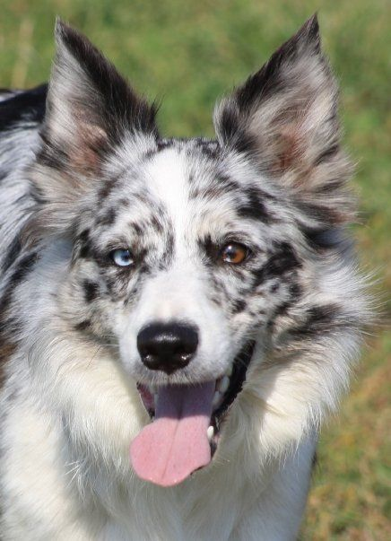 Blue Merle Border Collie Beautiful Dogs Collie Dog Dog Breeds