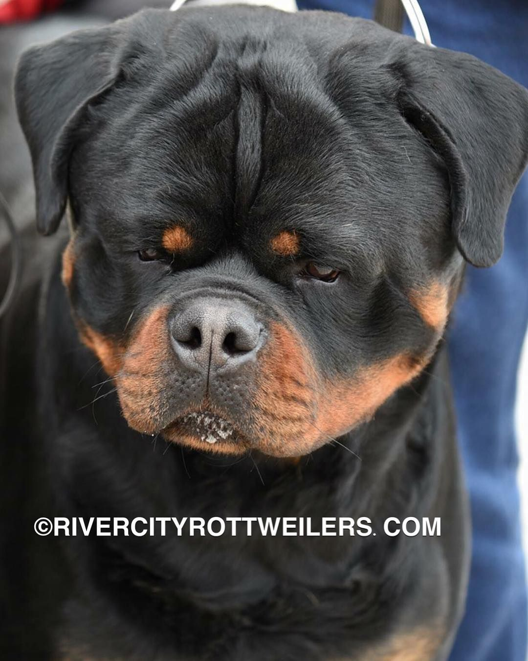 Doctor Timit Tor Sire Of Our Newest Import Litter We Are Now