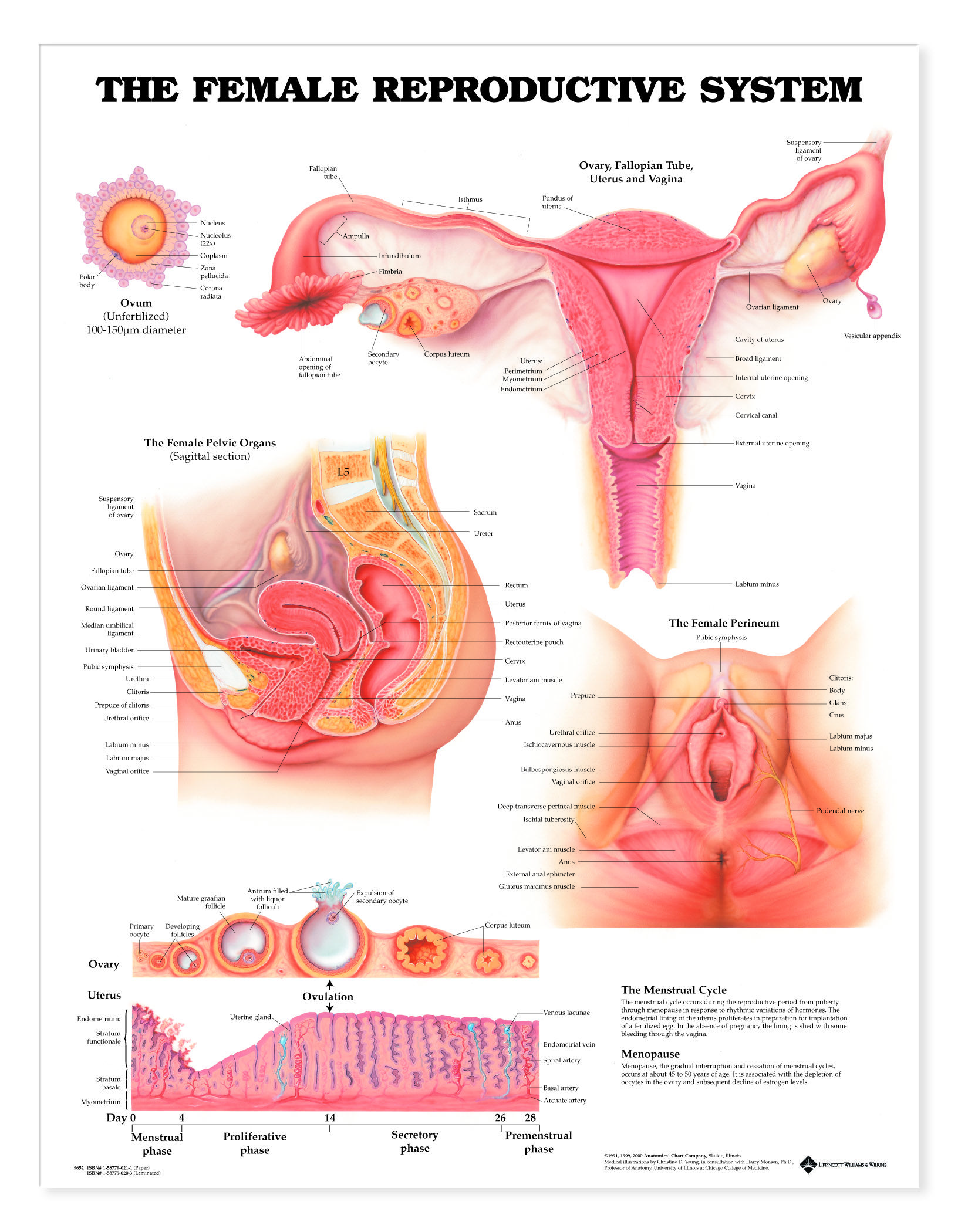 The Female Reproductive System Anatomical Chart | Female ...