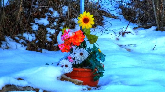 Spring Flowers in La Coulee, Manitoba