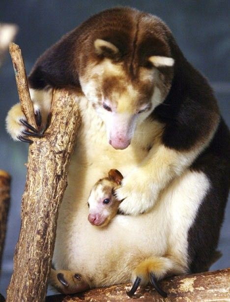baby animals   tree kangaroo and baby