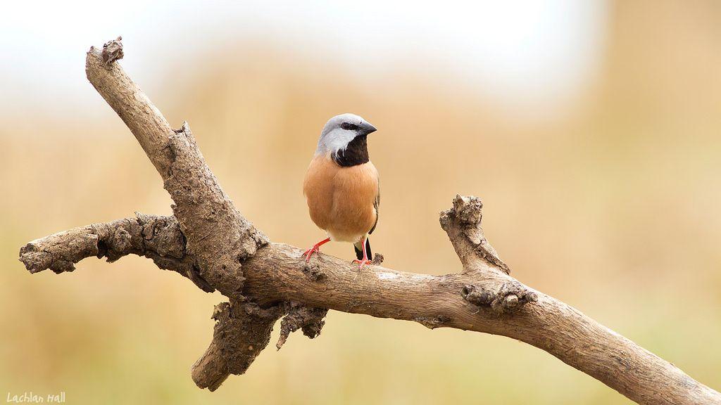 الحسون الراهب او الفينش اسود الحلق موضوع شامل حول هذا الطائر طيور العرب Finches Bird Bird Finch