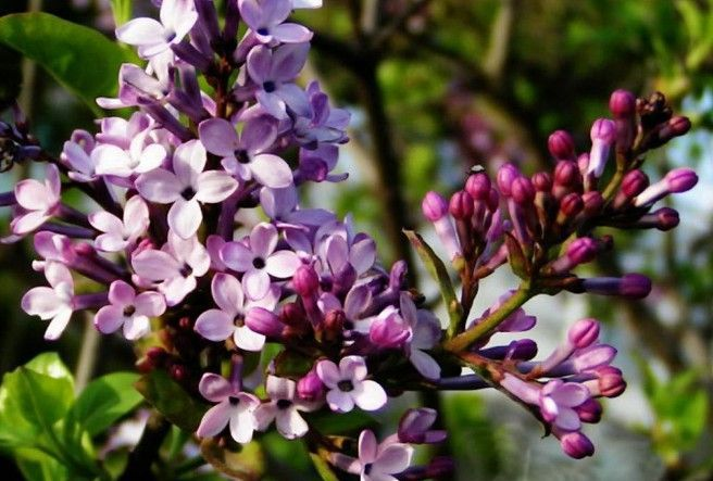 #mosquitoes #landscape #repellent #outdoors #addition #mosquito #summer #plants #during #enjoy #learn #repel #these #would #yourKnow : 30 Mosquito Repellent Plants These are the plants that will repel mosquitoes in your landscape and learn how to use these plants to enjoy the outdoors during summer. In addition to the plants that repel mosquitoes we would lik...These are the plants that will repel mosquitoes in your landscape and learn how to use these plants to enjoy the outdoors during ... #plantsthatrepelmosquitoes