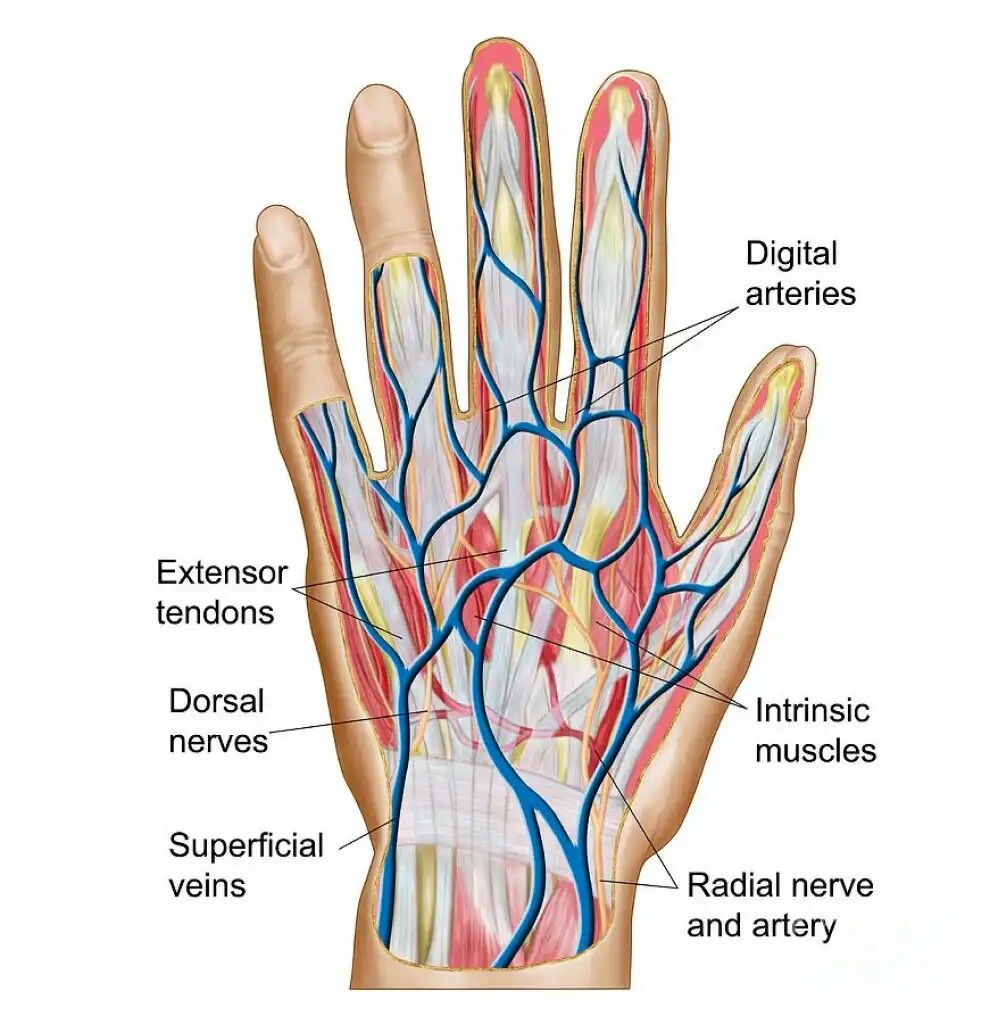 small resolution of hand finger bone diagram hand structure anatomy hand finger