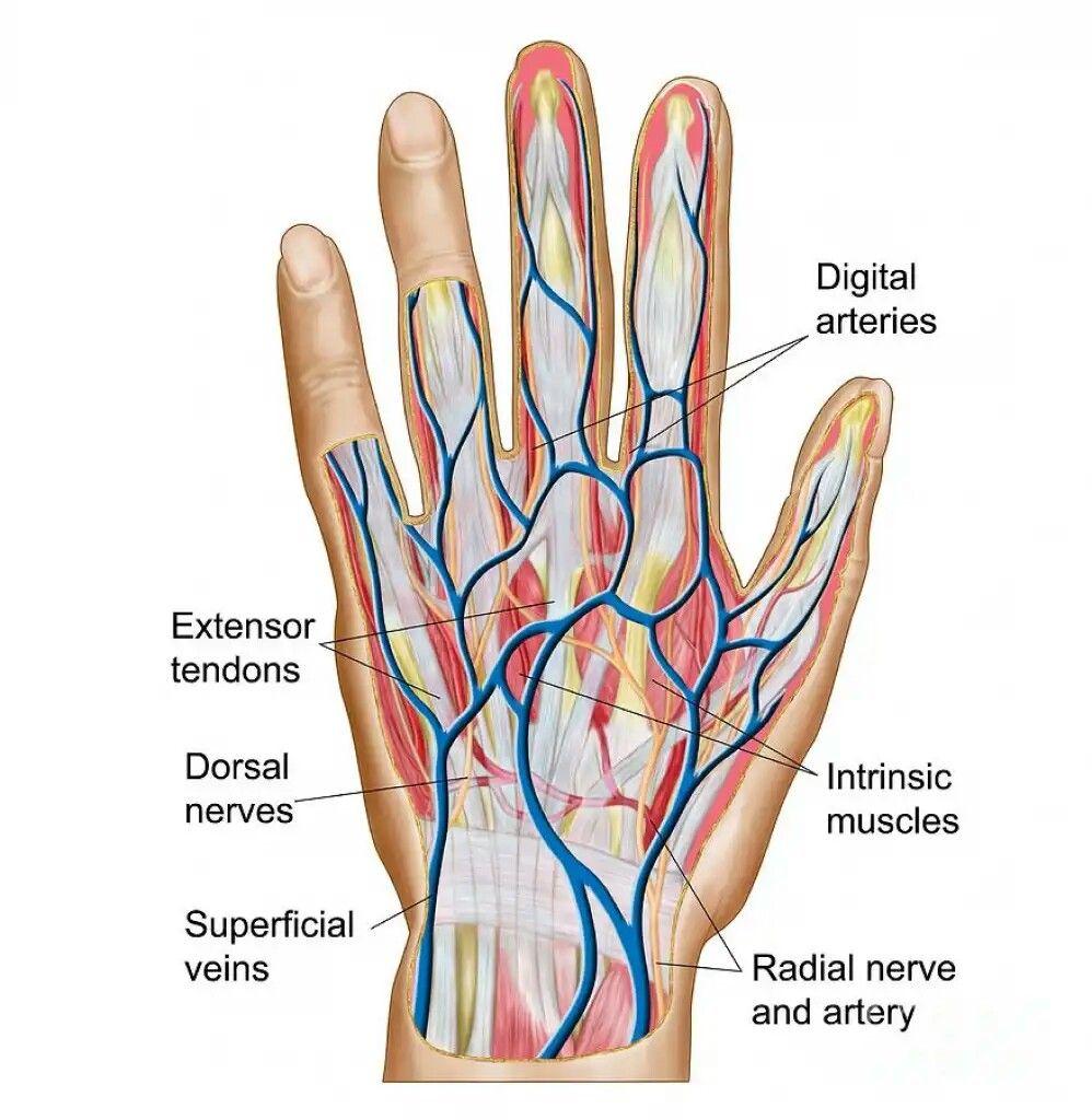 hight resolution of hand finger bone diagram hand structure anatomy hand finger