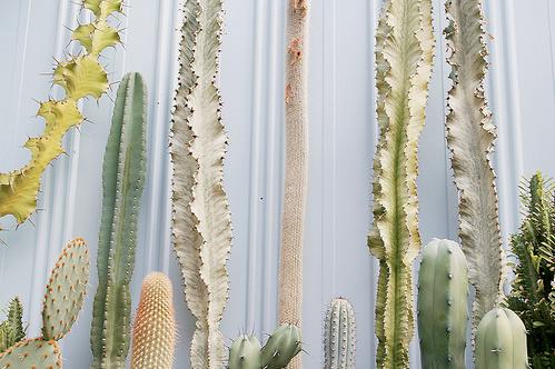 the many shades of cacti