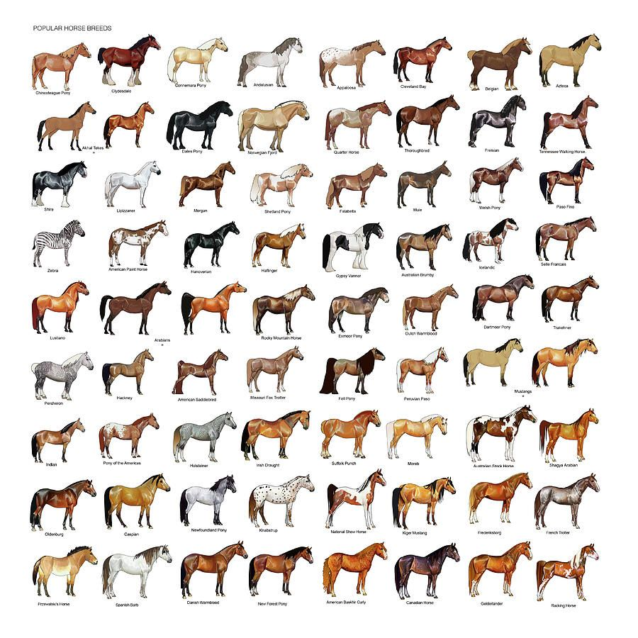 Horse Mixed Media Horse Breeds By Gina Dsgn In 2021 Horse Breeds Horse Art Print Breeds [ 900 x 900 Pixel ]
