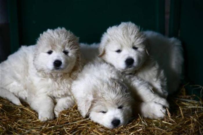 Kuvasz Puppies Kuvasz Its So Fluffy Im Gonna Die