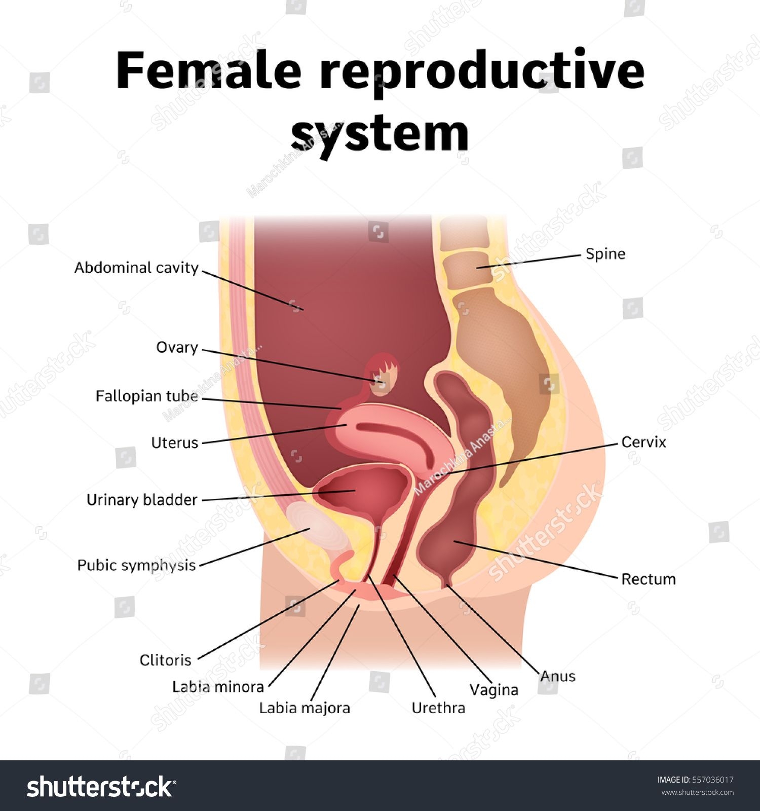 Female Organs Picture Human Anatomy Drawing Human Anatomy