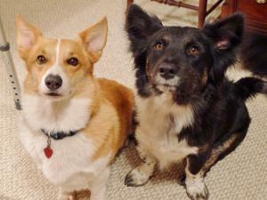 Kit Kat The Border Collie X Corgi Is An Adoptable Corgi Dog In