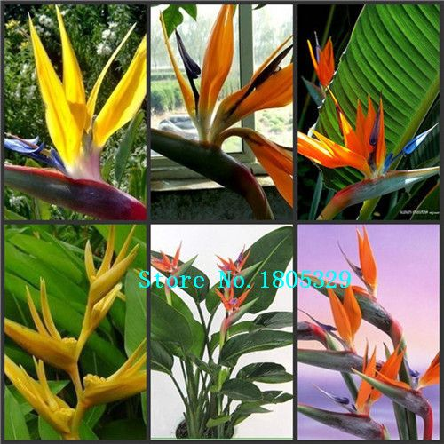 100pcs/pack.Flower pots planters All sorts of color Strelitzia reginae seeds hybrid bird paradise seed Bonsai flower Seeds