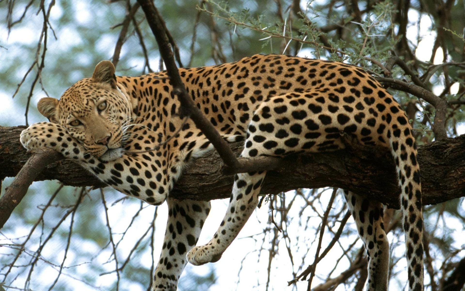 Leopard On The Tree Animals Leopard Tree Hd Wallpapers