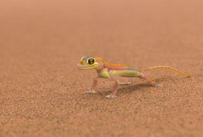 砂漠のトカゲの壁紙 壁紙キングダム Pc デスクトップ版 ペットの鳥 トカゲ 爬虫類