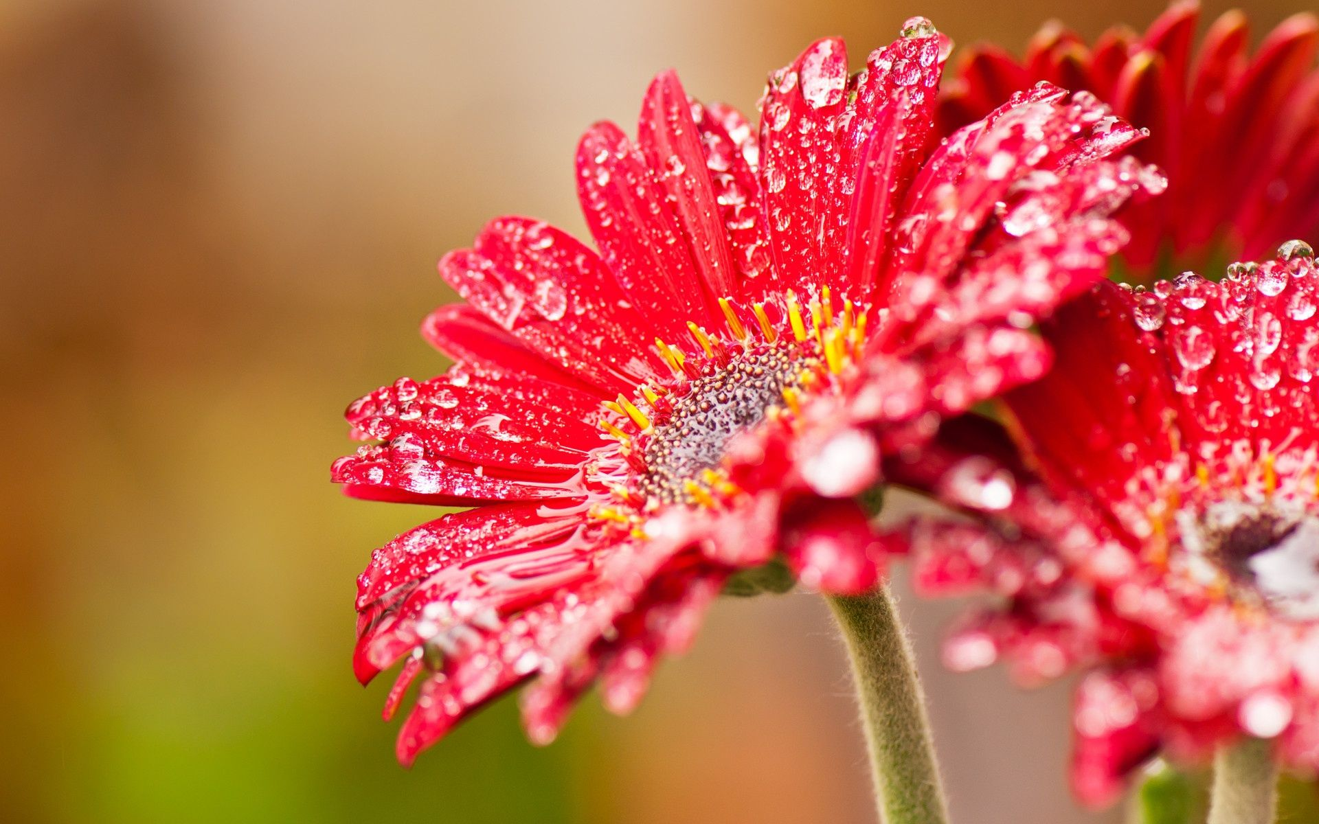 Lovely Daisies Beautiful Flowers Wallpapers Red Flower Wallpaper Flower Wallpaper