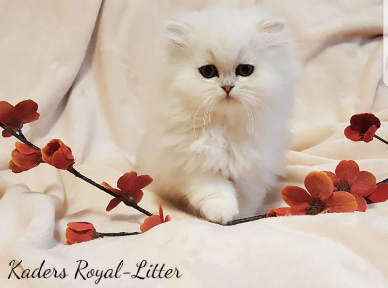 Original Longhair Chinchillas Persians Berea Musgrave Gumtree Classifieds South Africa 249388435 Kitten For Sale Kittens Cats And Kittens