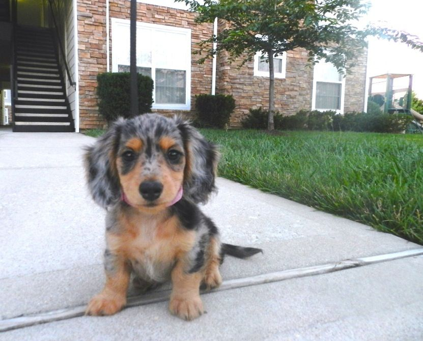 Miniature Dachshund Puppies Hello, my name is Pepper