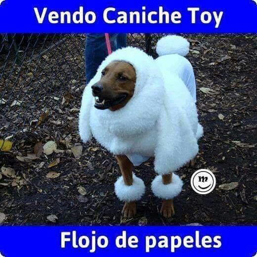 Vendo Caniche Flojo De Papeles Caniche Caniche Toy Gracioso