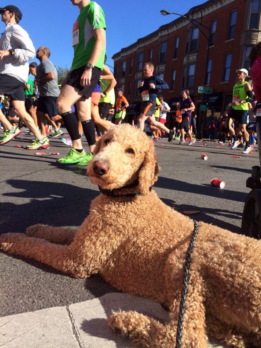 Standard poodle at the Chicago marathon 2014! Assistance