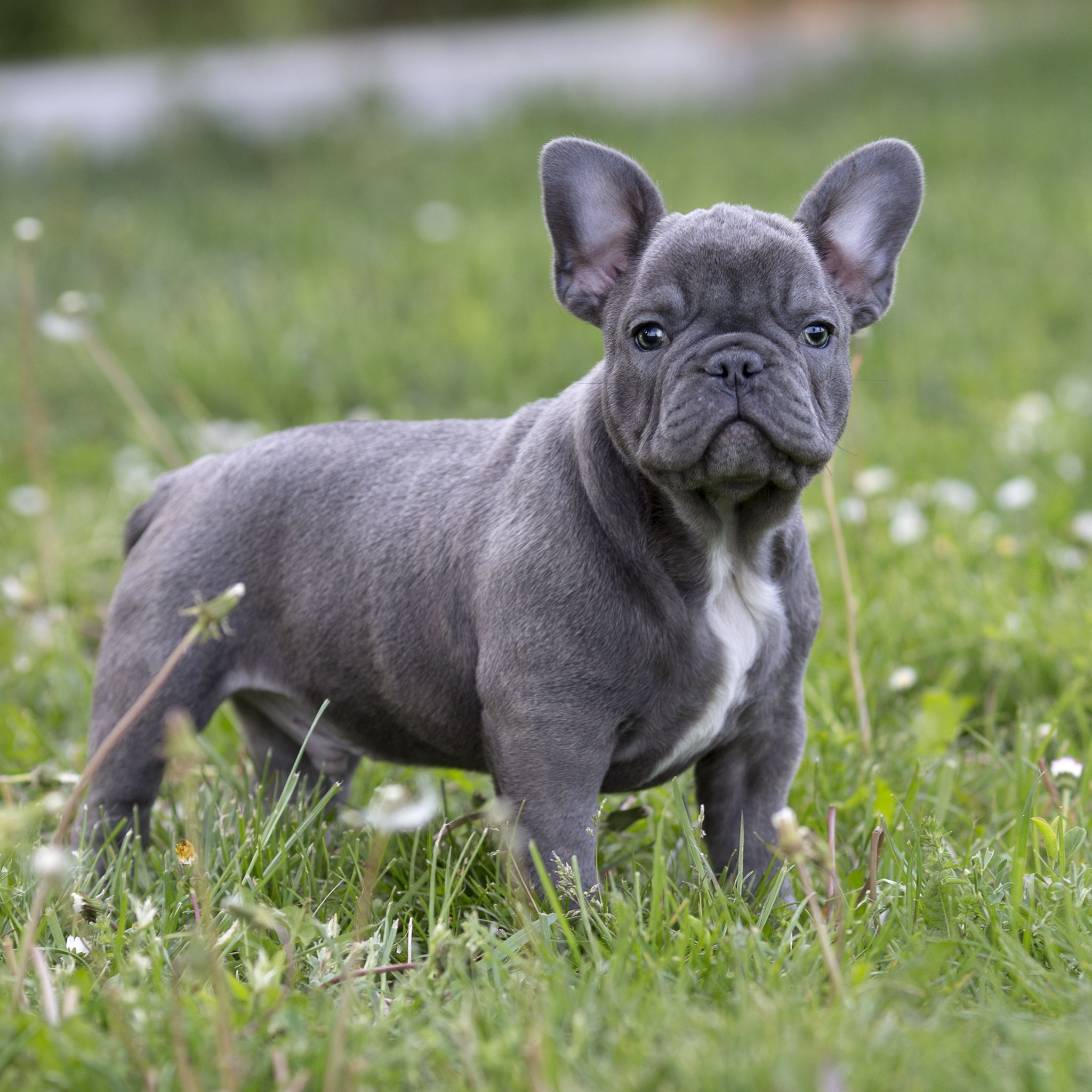 For Sale Blue Boy Ice Top Bloodline Short Perfect Head And True To Type Batpig French Bulldog Breed Bulldog Breeds French Bulldog