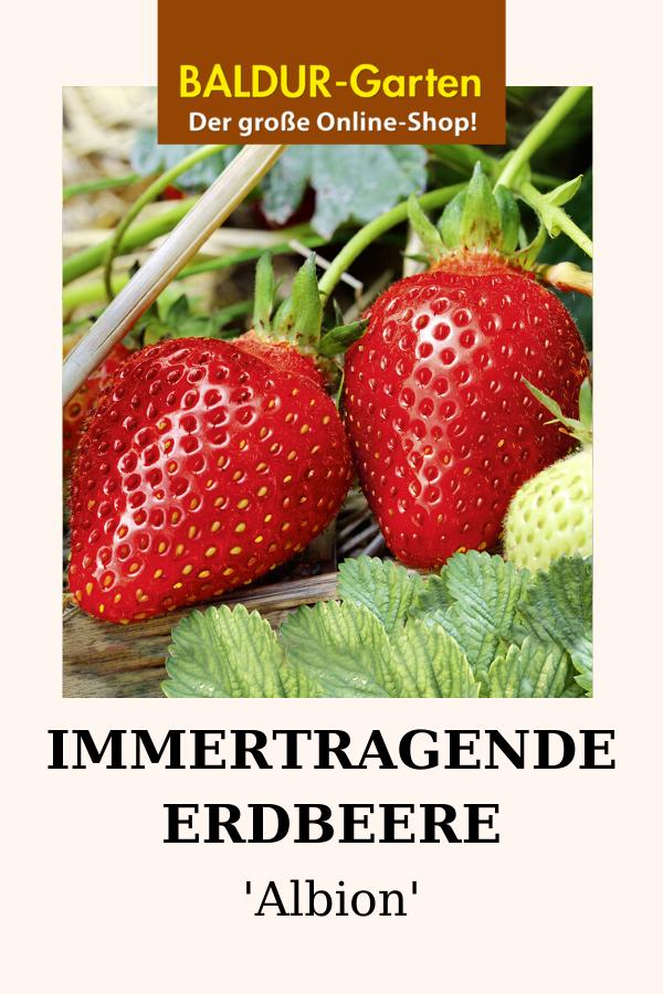 Immertragende Erdbeere Albion 1a Qualitat Baldur Garten Erdbeerpflanzen Erdbeeren Obst