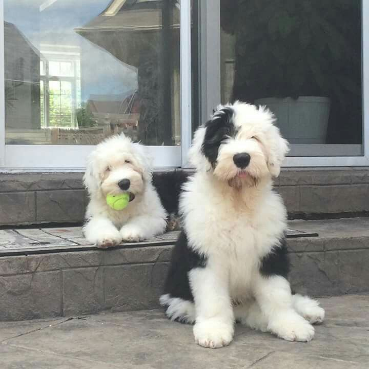 Old English Sheepdogs | Sheepies | Sheep dog puppy, Old
