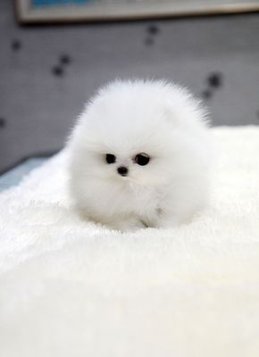 ★Teacup puppy for U★ White teacup pomeranian Addel :) If you are looking for a top quality teacup puppy, we...