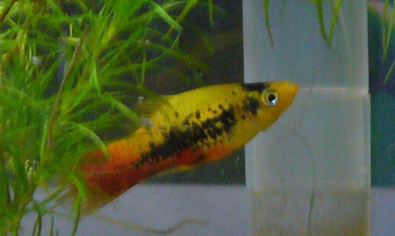 Sunset With Black Markings Aquarium Fish Tropical Fish Fish Tank