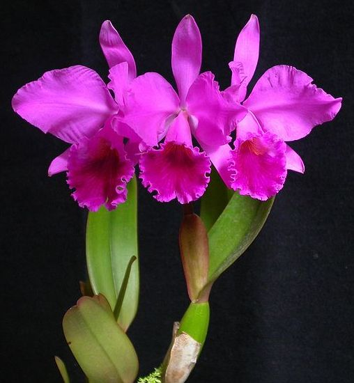 Cattleya Labiata Or Corsage Orchid Is The National Flower Of Brazil Orchid Flower Cattleya Cattleya Orchid