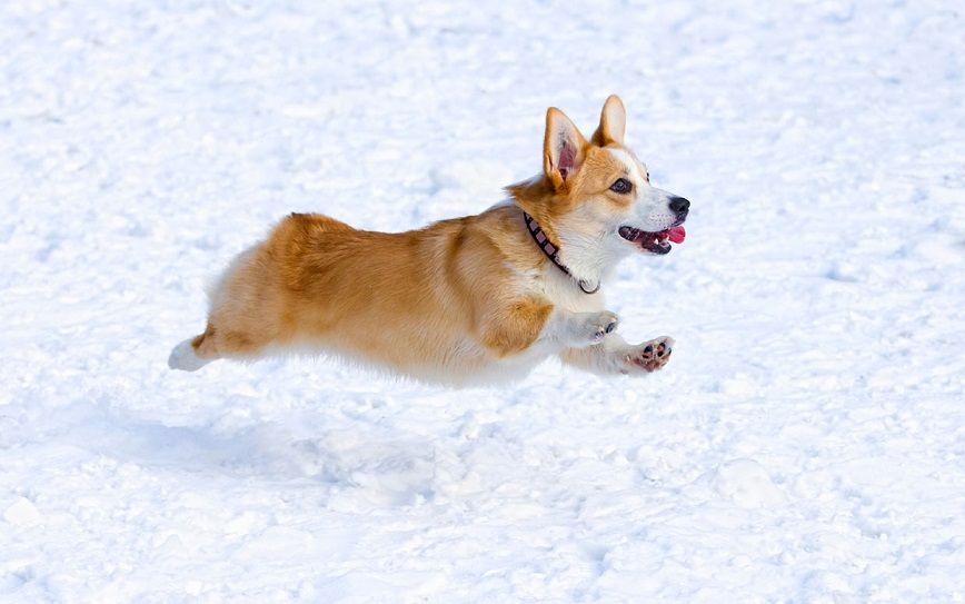 #snow #jump #dog #pet #corgi