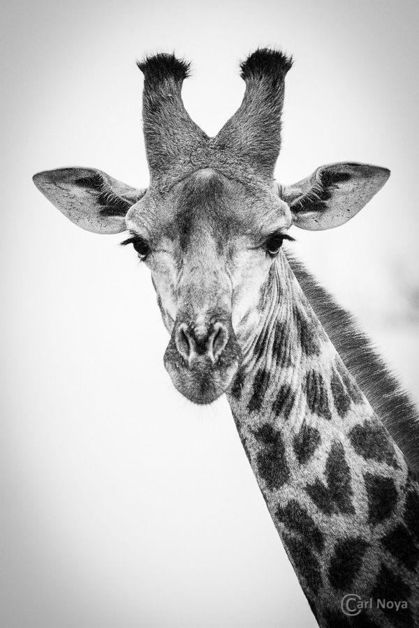 Gerelateerde Afbeelding Afrikanische Tiere Ausgestopftes Tier Tierfotografie