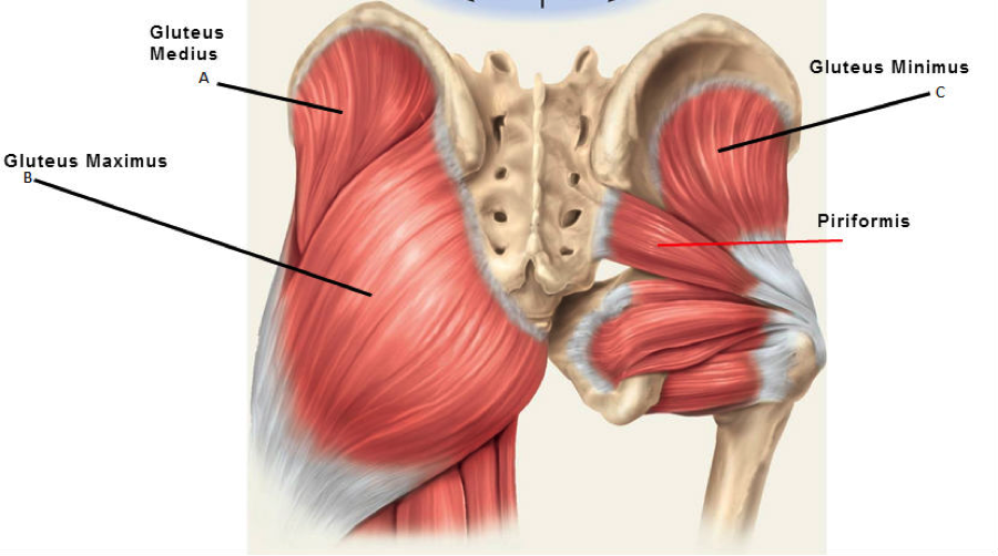 19++ Muscles under gluteus maximus trends