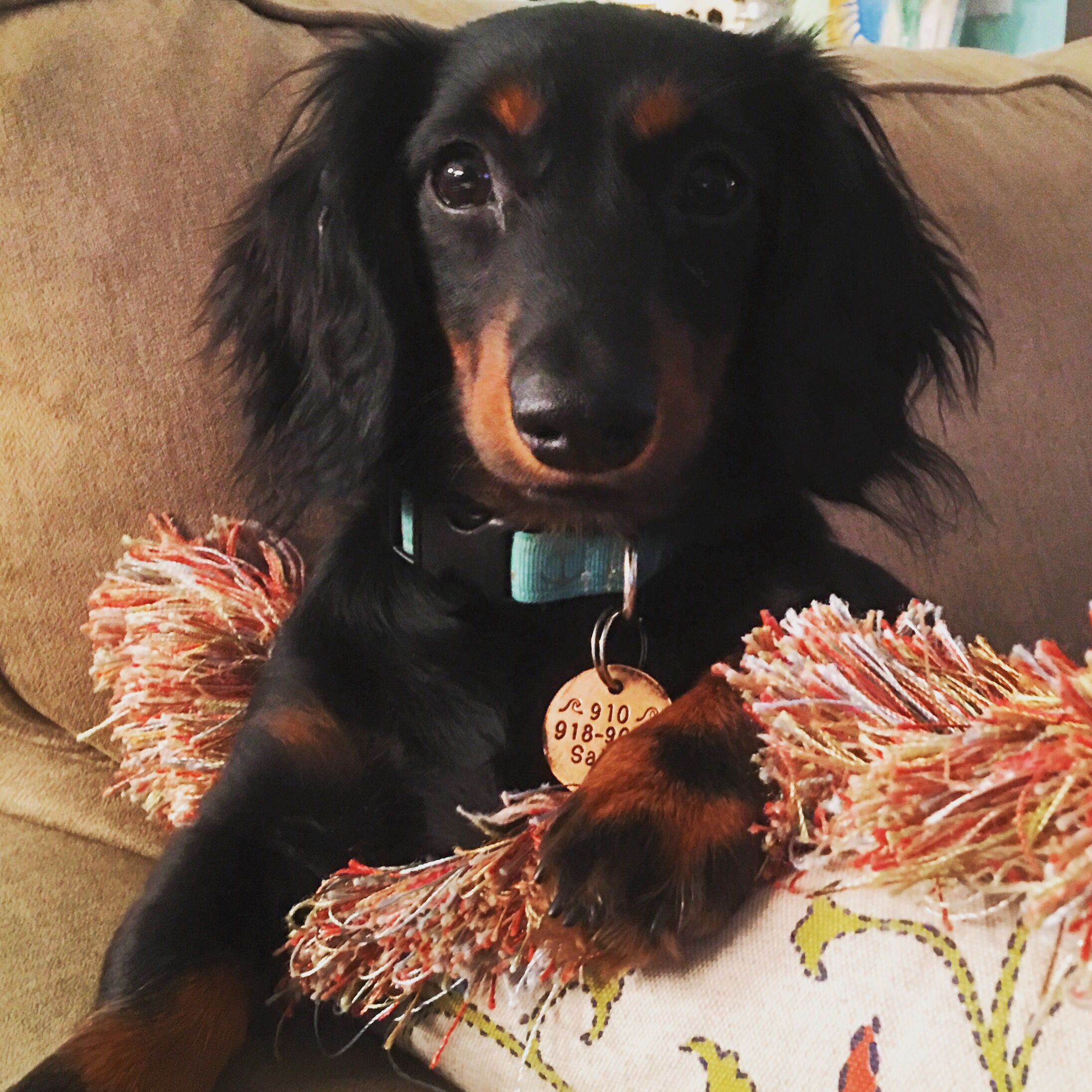 Sailor Magnolia My Black And Tan Long Haired Dachshund