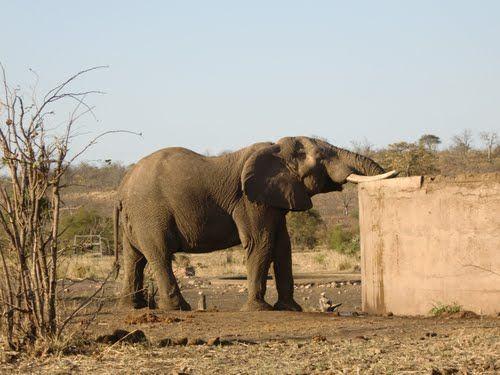 Olifant drinkt uit waterreservoir Mandadzidzi, Kruger Park, nabij Pafuri Gate, Zuid-Afrika (Trudi)