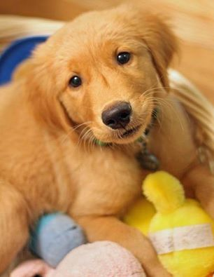 GOLDEN RETRIEVERS ARE SO AWESOME