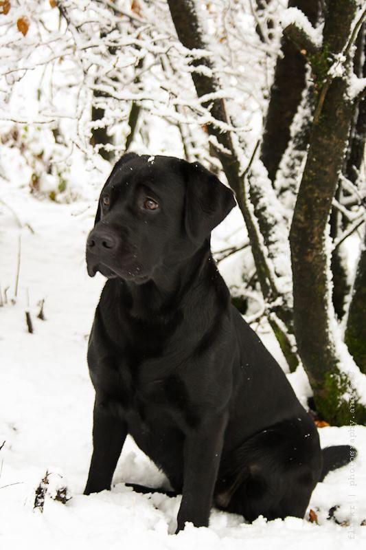 Looks exactly like my Blair ! #Snow #Labrador