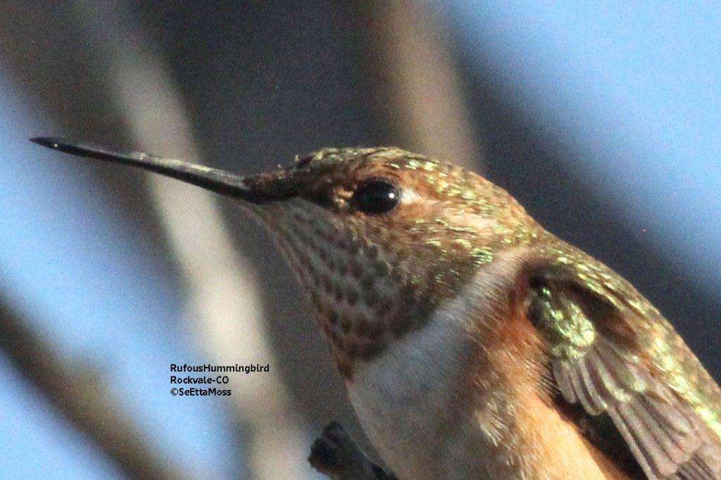 Fall hummingbird migration Hummingbird migration, Bird