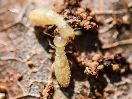 Subterranean Termites Residents Of Seattle Wa Termite Control Termites Pest Control