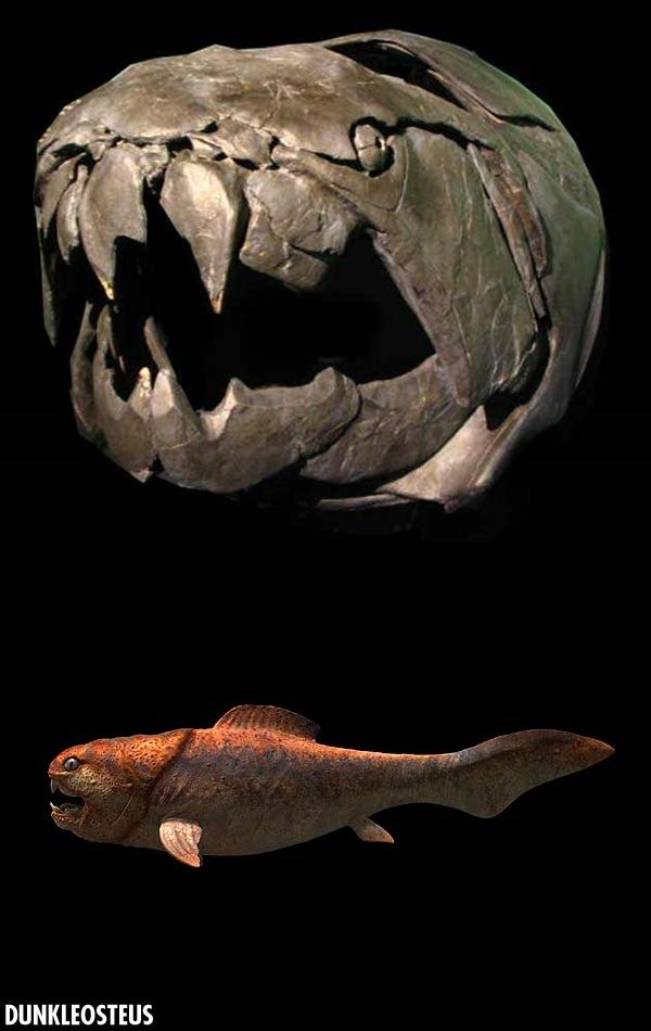 """Dunkleosteus terrelli, Credit: Mark Westneat This prehistoric fish, Dunkleosteus terrelli, was big, mean, and it could bite a shark in two. Scientists say Dunkleosteus terrelli might have been """"the first king of the beasts."""" The prehistoric fish was 33 feet long and weighed up to four tons. The creature lived 400 million years ago."""