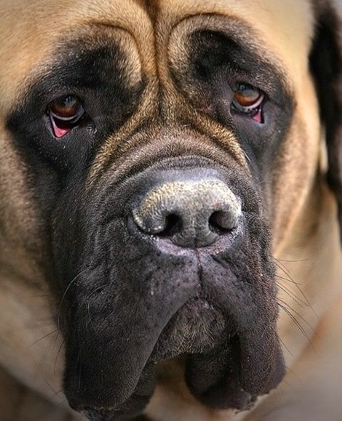 #English #Mastiff  Love the breed