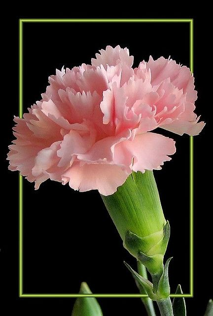 Tickled Pink Carnation Flower Amazing Flowers Pretty Flowers