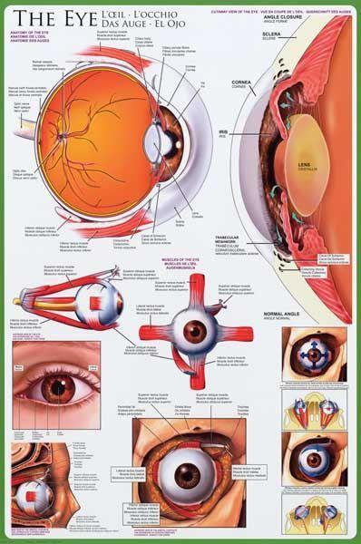 Anatomy Of The Eye Optometry Education Poster 24x36 Anatomia Del